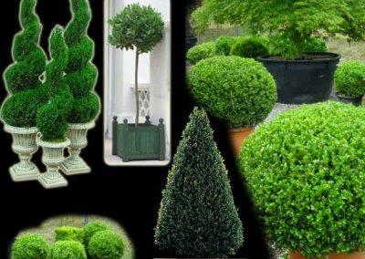 Topiary Trees & Shrubs